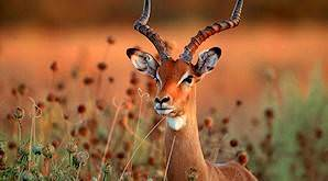 Impalas are the most common plains game animal that can be hunted in Botswana.
