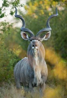 An impressive kudu bull makes eye contact with the camera.