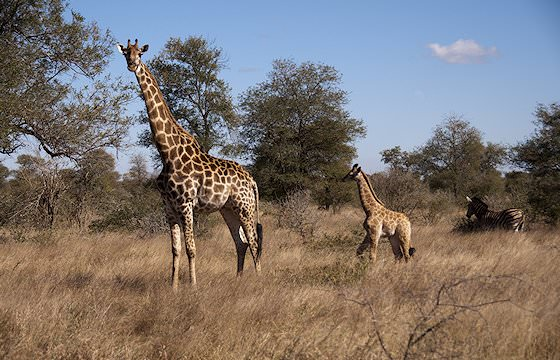 A giraffe and her calf in the bushveld.
