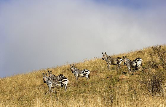 A small herd of mountain zebras in the Eastern Cape.