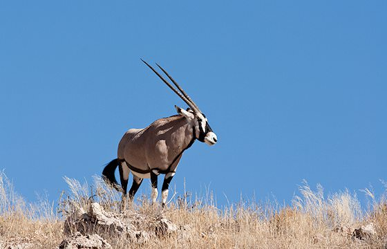 A gemsbok atop a rise in the Kalahari.