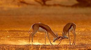 Springboks are the most common trophy animals that can be hunted in Namibia.