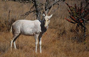 The rare white blesbok.
