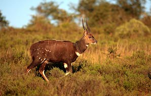 A bushbuck ram pauses in long grass.