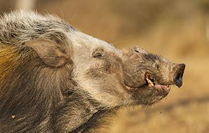 The side profile of a bush pig.
