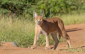 A caracal stalks through long grass.