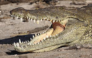 A crocodile basks with its mouth ajar.