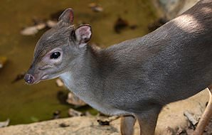 The tiny blue duiker.
