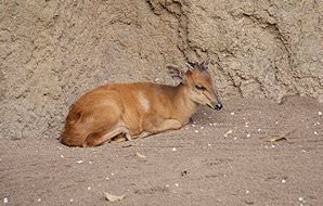 A red duiker rests in a corner.