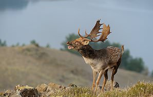 A fallow deer in a mountainous area.