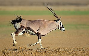 A gemsbok gallops across the desert.