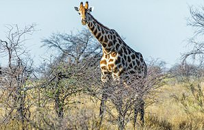 A giraffe wanders across woodland savanna in South Africa.