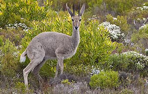 A grey rhebuck against a backdrop of lush mountain vegetation.