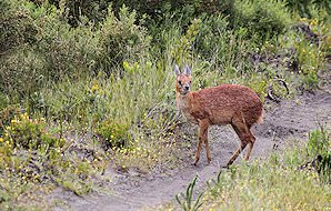 A grysbok emerges onto a footpath.