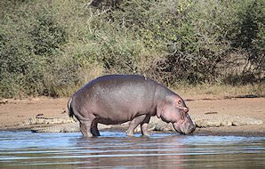 A hippopotamus emerges from the water.