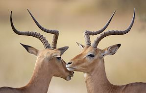 An impala ram and ewe.