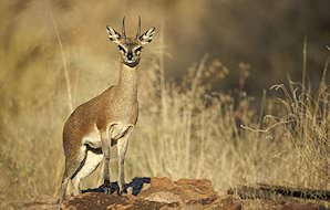 A klipspringer perched on a rock.