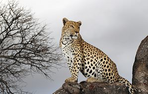 A leopard lounges in a the crook of a tree.
