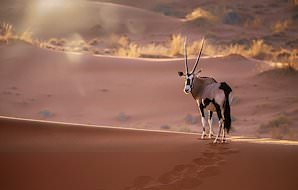 A pair of gemsbok spotted on safari in Namibia.