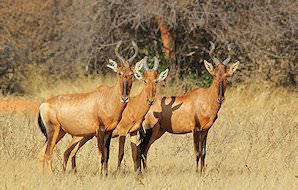 A trio of red hartebeest.