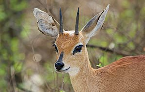 An inquisitve steenbok pauses in the bush.