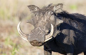 A warthog takes a drink from a puddle.