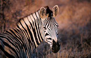 A close-up of a Burchell's zebra.
