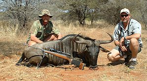 Blue wildebeest are popular for hunting in the bushveld.