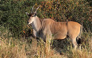 A Livingstone eland in the mopane woodland of Zimbabwe.