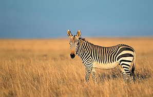 A mountain zebra on the open plains.