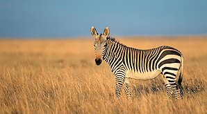 A mountain zebra on the plains of the Eastern Cape.