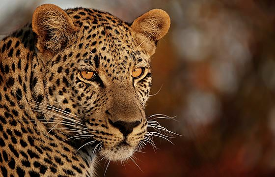 A close-up photograph of a leopard.
