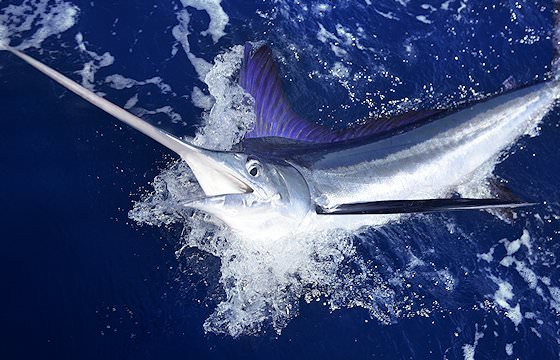 A marlin breaches from the ocean.