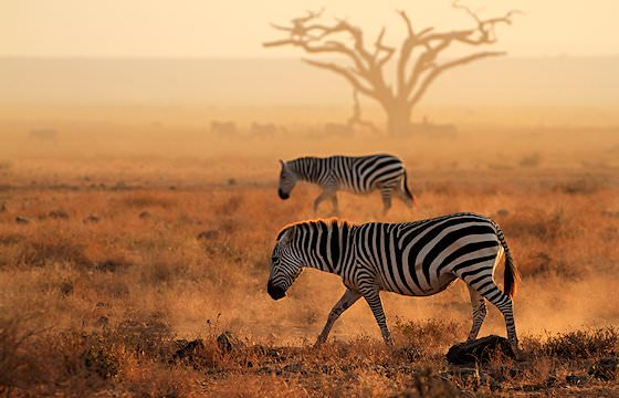 A pair of Burchell's zebras roam the bushveld.