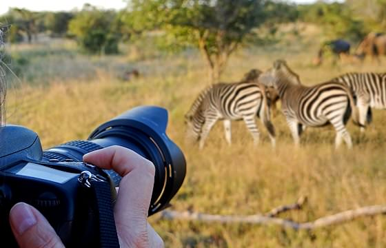 A photographer takes a photo of a herd of zebras.