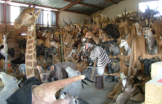 Various trophies at a taxidermist.