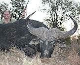 A Cape buffalo with impressive horns.