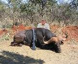 A buffalo hunted with ASH Adventures.