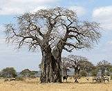 A baobab tree in the Kruger National Park.