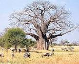 A baobab tree surrounded by blue wildebeest.
