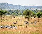 Burchell's zebra is the most common subspecies of zebra