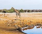 A giraffe and a herd of impala gather at waterhole.