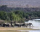 Elephants are often found along rivers and around water sources.