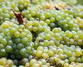 Succulent white grapes.