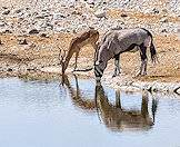 An impala and gemsbok drink alongside one another.