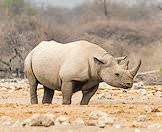 A black rhino in Etosha National Park.