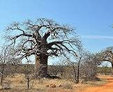 Baobab trees are inherently African.