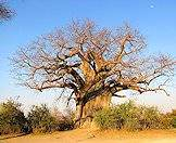 Baobab trees can become quite enormous.