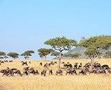 Blue wildebeest are also known as brindled gnu.