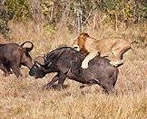 A lion hunts a Cape buffalo in the Kruger Park.